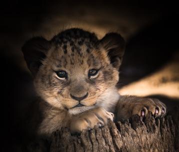lion-cub-2886432_1920