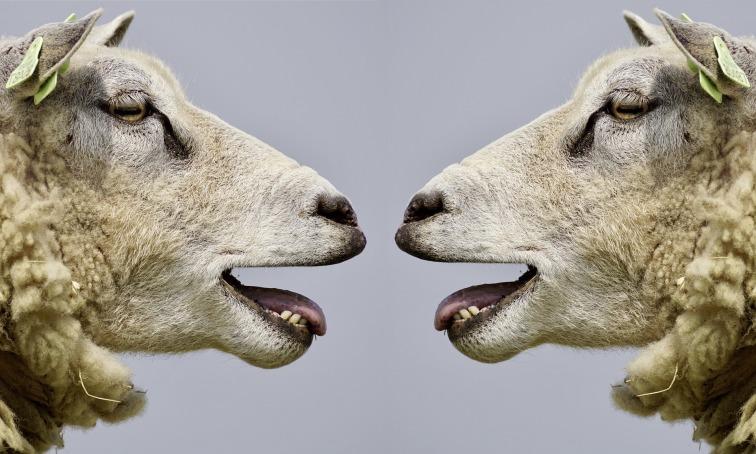 sheep-2372148_1920