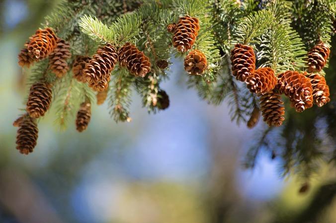 pine-cones-2823765_1920